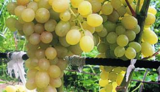 Виноград «Тасон»