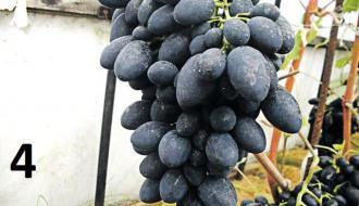 Виноград на наших дачах