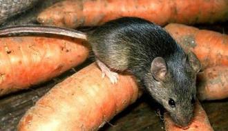 Борьба с мышами на даче